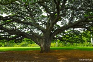 モアナルアガーデンズパークで撮影したモンキーポッドの原木