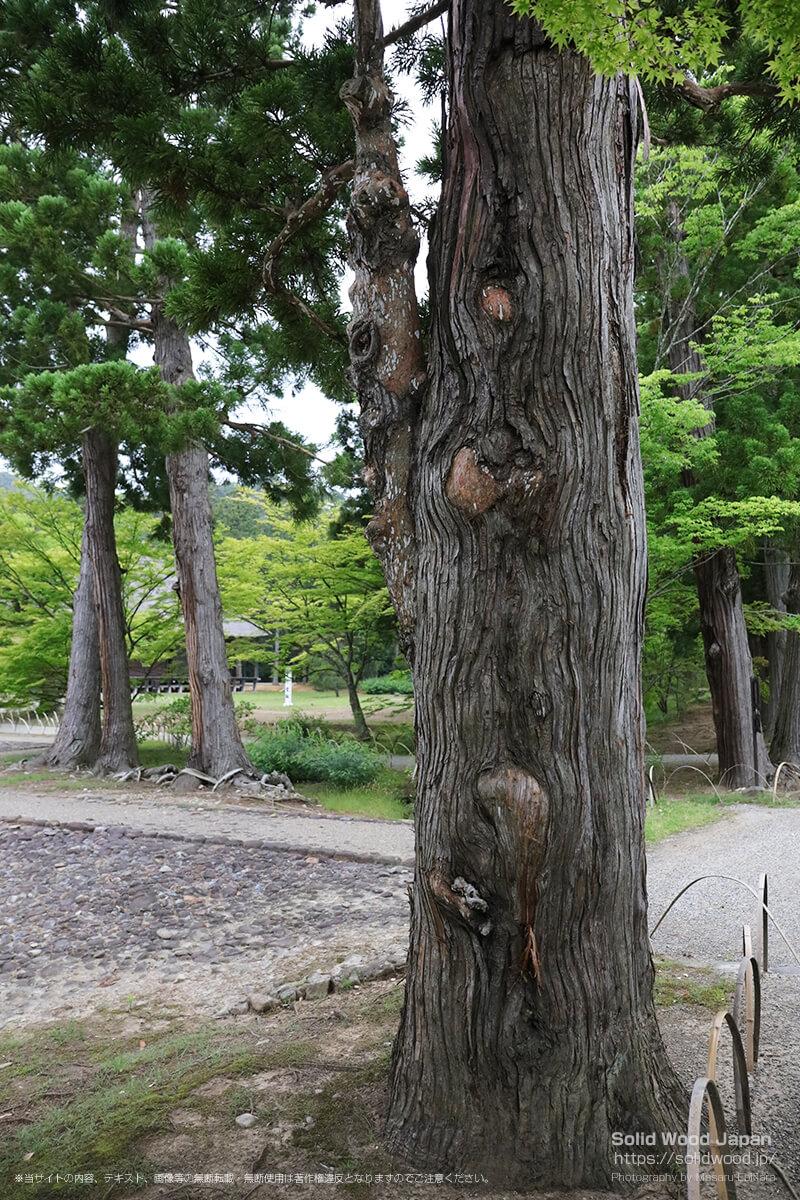 毛越寺の杉の木