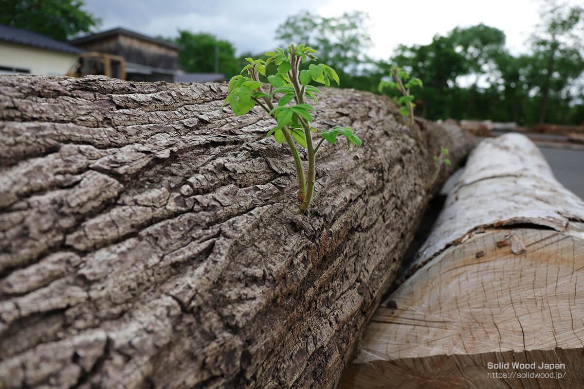 桐の丸太から伸びる新芽(一関木材流通センターにて撮影)