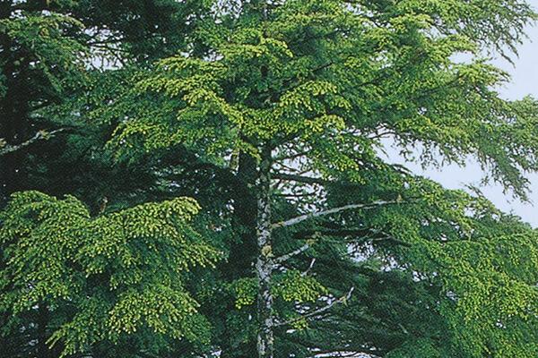 立木(たちぎ、りゆうぼく)について