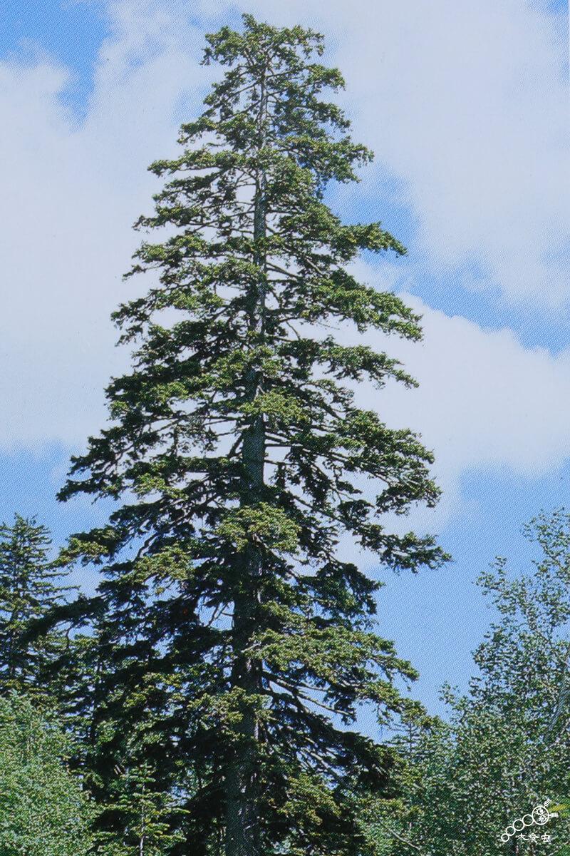 エゾマツの立木(たちぎ)。見事に枝を張った雄姿。