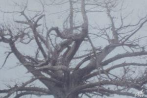 杉の花魁(おいらん)の例
