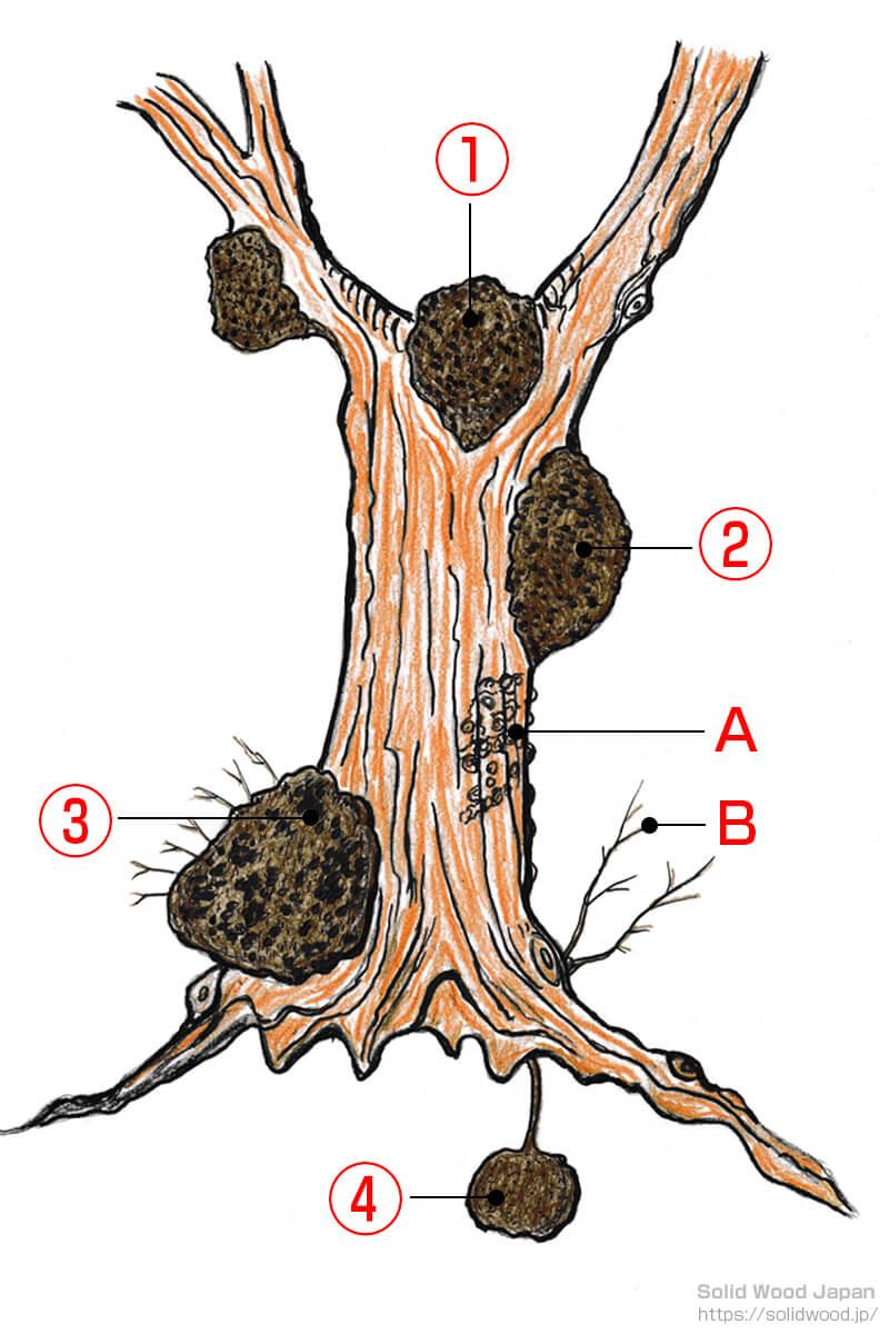 木に出来る瘤(こぶ)の説明