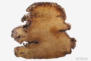 小笠原桑の生育木の瘤