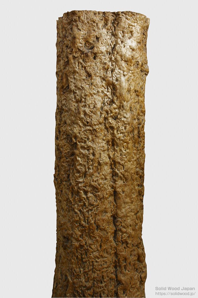 幹全体が瘤状になった樫(カシ)の丸太