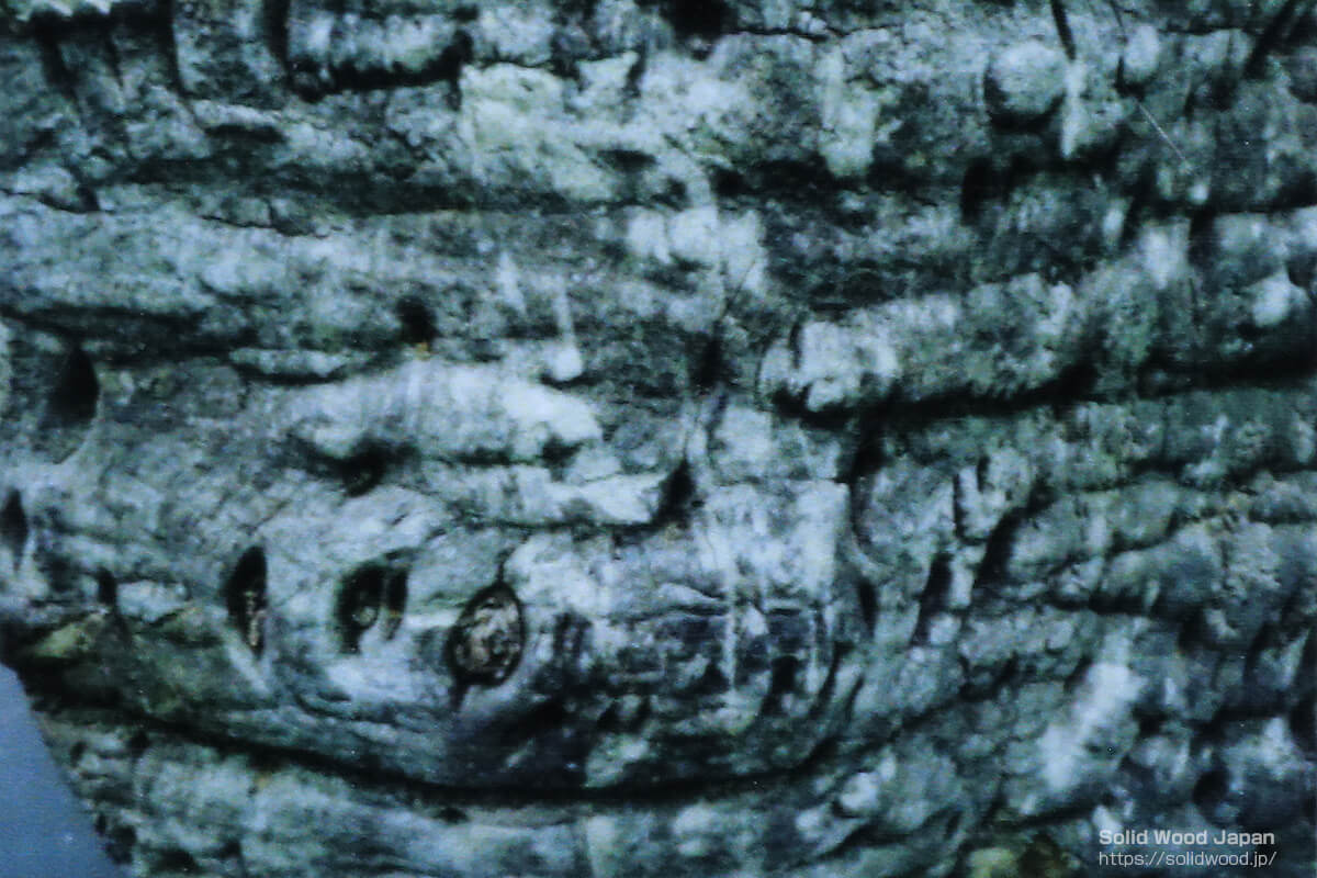 欅(ケヤキ)の玉杢