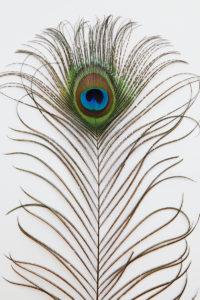孔雀の尾羽根