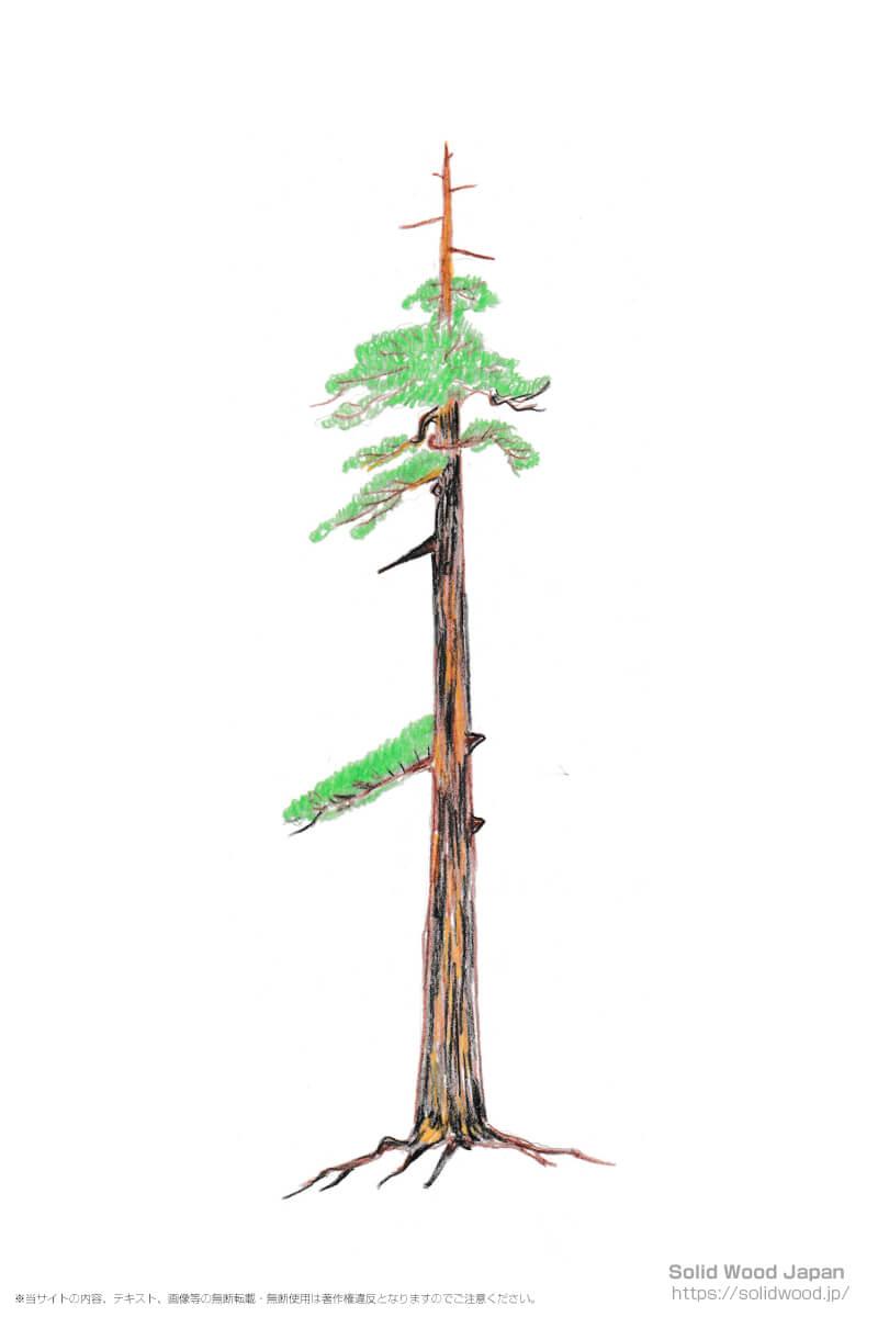 樹齢300~400年の社寺木(しゃじぼく)。木の先端が枯れ始め、伐採の旬を迎えた杉の老木。