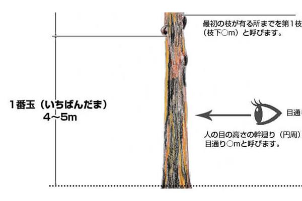 立木を伐採した際の原木の名称