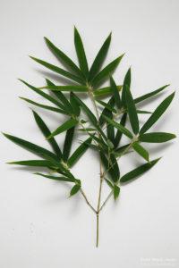 写真②:笹杢(ささもく)・笹杢目(ささもくめ)の語源になった笹(竹・笹)の葉