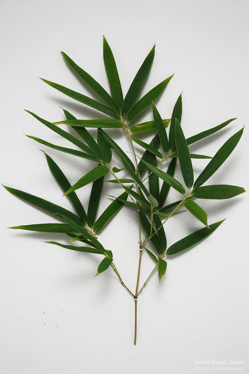 笹杢(ささもく)・笹杢目(ささもくめ)の語源になった笹(竹・笹)の葉