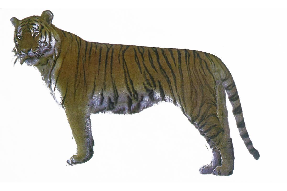 動物の虎(トラ)