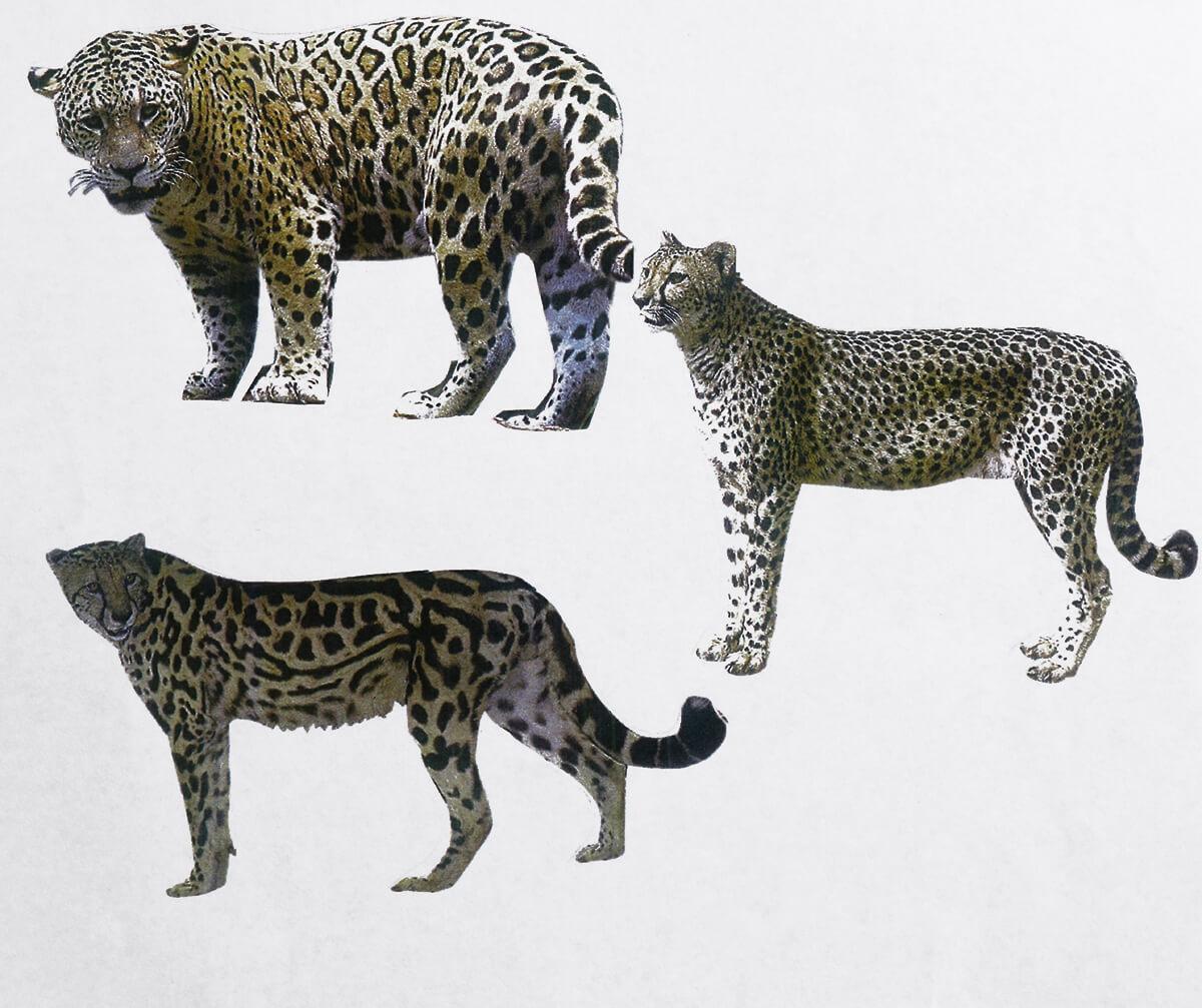 動物の豹(ひょう)