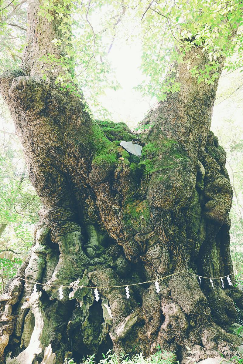 国指定天然記念物、來宮神社の大楠