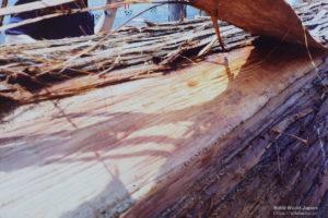 丸太の杉皮を剥ぎ、むしっている時の写真